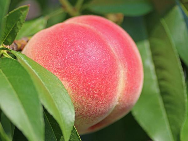 nektarin-2721852
